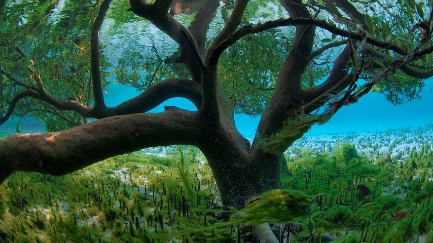 「水面下のマングローブ」セイシェル, アルダブラ環礁