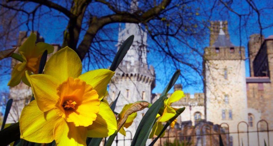 「カーディフ城と水仙」イギリス, ウェールズ