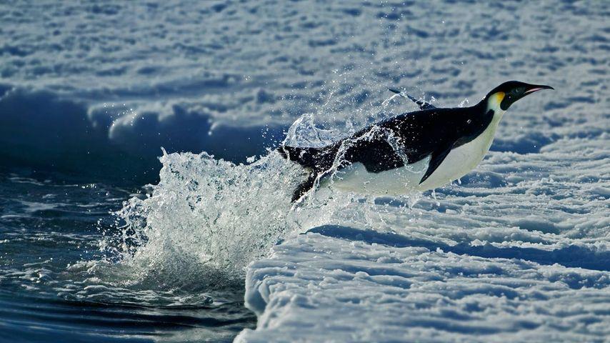 「コウテイペンギン」南極