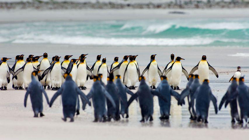 「キングペンギン」フォークランド諸島, ボランティア・ポイント