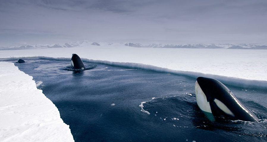 「スパイホップをするシャチ」南極洋
