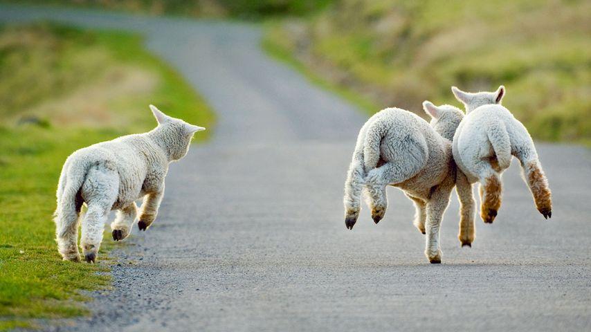「3匹の子羊」ニュージーランド, クライストチャーチ