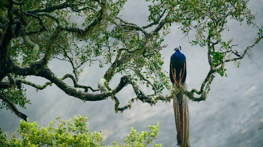 「インドクジャク」スリランカ, ヤーラ国立公園
