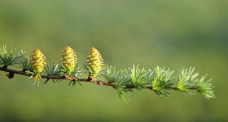 「カラマツの新芽と花」長野, 飯山