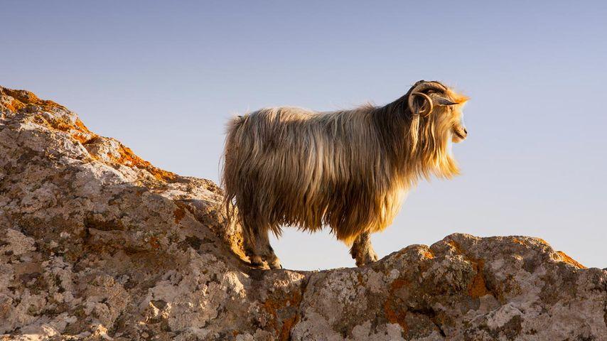 「ミリナのヤギ」ギリシャ