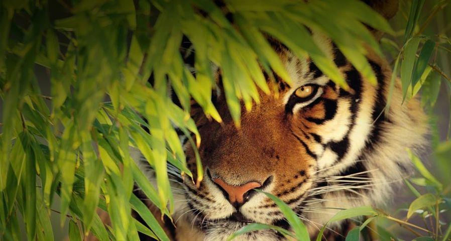 「木の葉に隠れるベンガルトラ」インド