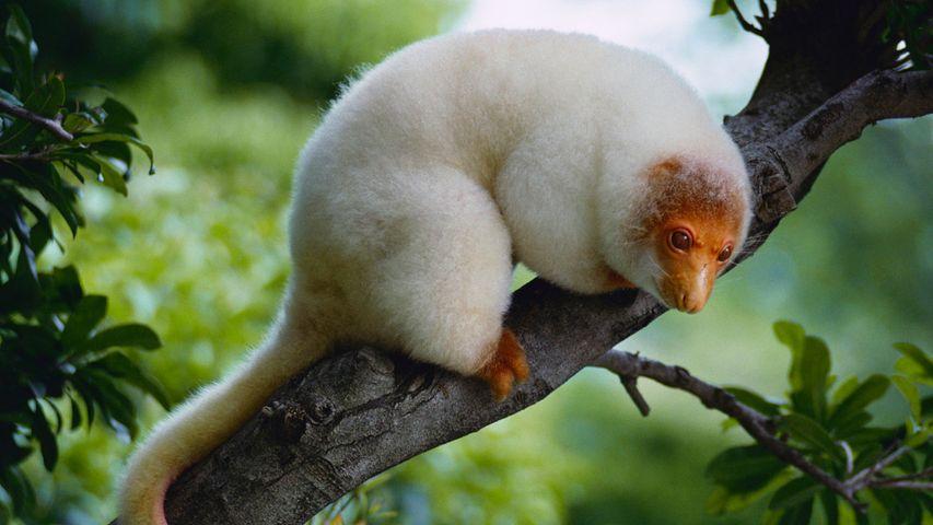 「木の上のブチクスクス」パプアニューギニア, オロ州, トゥフィ
