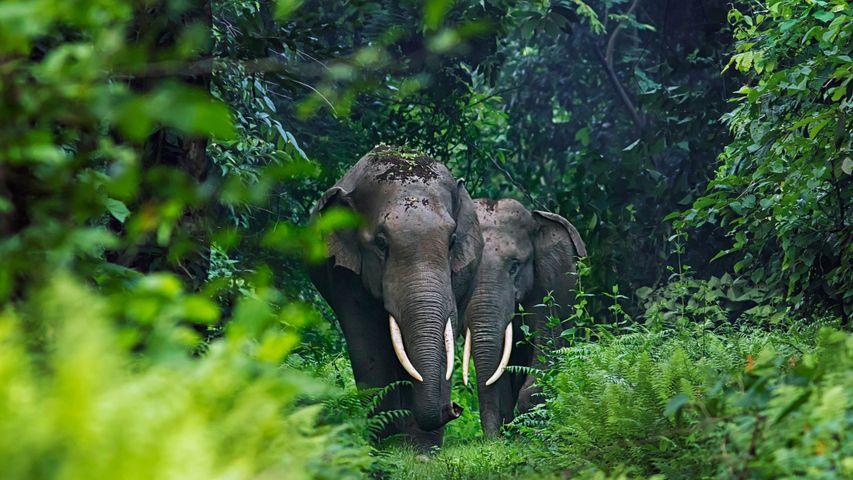 「アジアゾウ」インド, 西ベンガル州