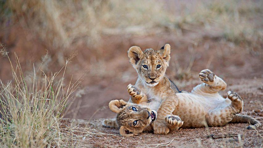 「仔ライオン」ケニア, サンブル自然保護区