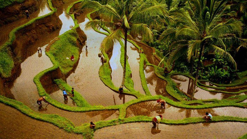 「棚田で働く人々」インドネシア, バリ