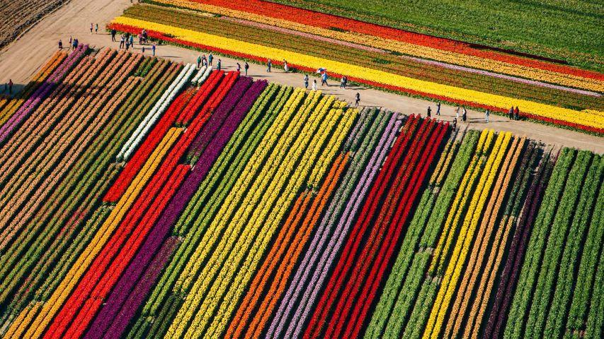 「マウント・バーノンのチューリップ畑」米国, ワシントン州