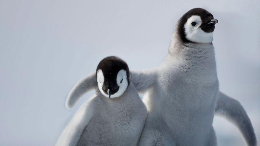 「皇帝ペンギンの赤ちゃん」南極, スノー・ヒル島