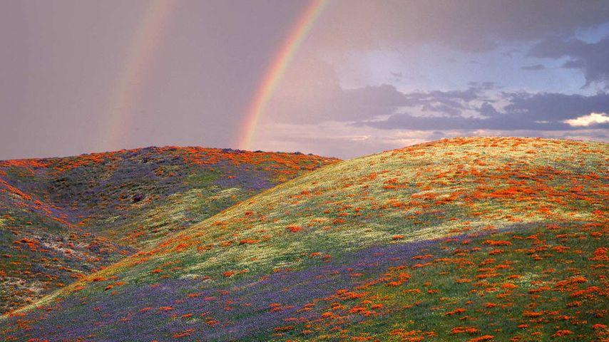 「ポピーとルピナスの丘」アメリカ, カリフォルニア州