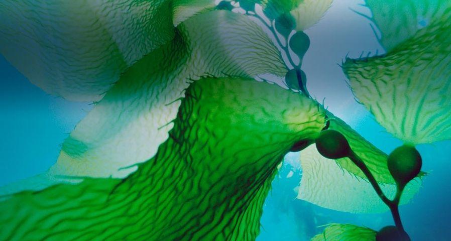 「チャネル諸島国立公園のジャイアント・ケルプ」アメリカ, カリフォルニア州
