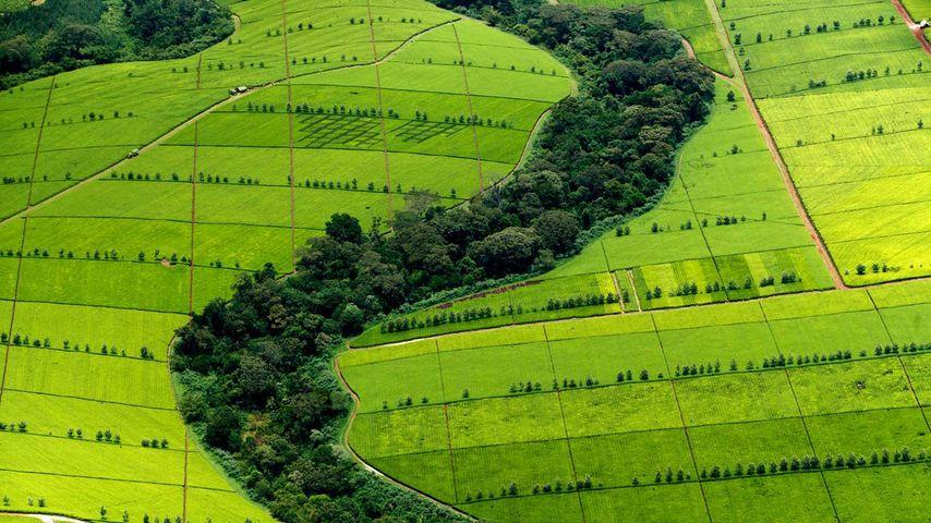 「紅茶農園」ケニア, ケリチョ