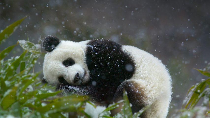 「パンダの赤ちゃん」中国, 四川省