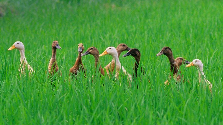 「アヒルの群れ」インドネシア, バリ島, ウブド