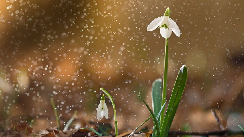 「雪の中のスノードロップ」