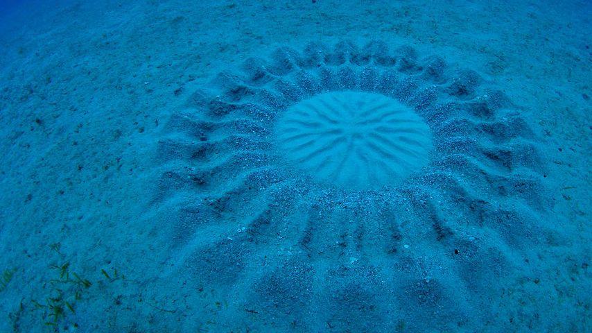 「アマミホシゾラフグの巣」鹿児島, 奄美大島