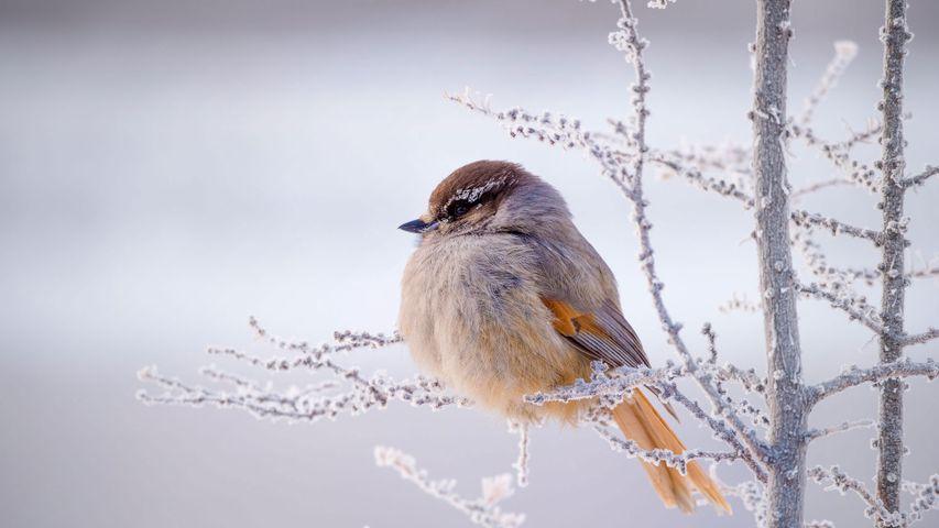 「冬のアカオカケス」ロシア, シベリア