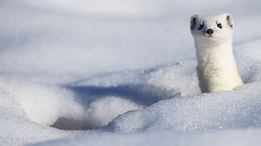 「雪の中のオコジョ」