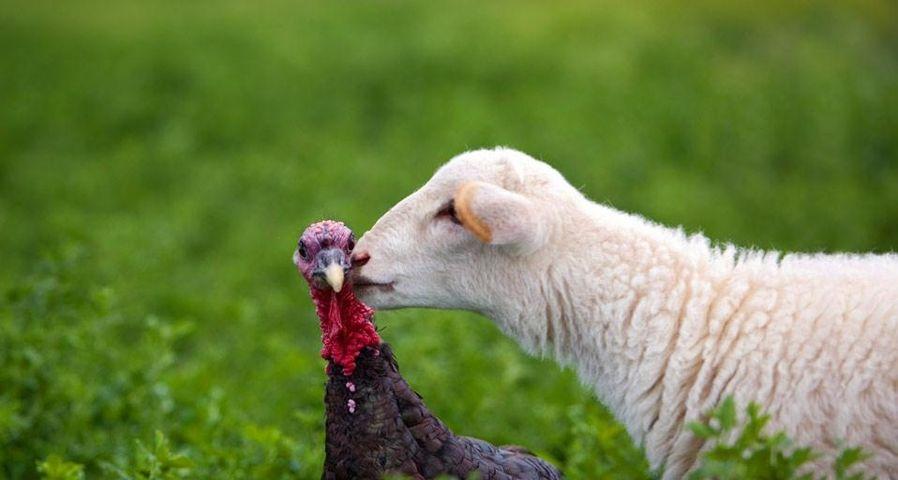 「七面鳥にキスする子羊」アメリカ, カンザス州