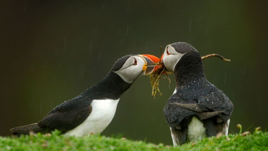 「巣作りをするニシツノメドリ」イギリス, スコマー島