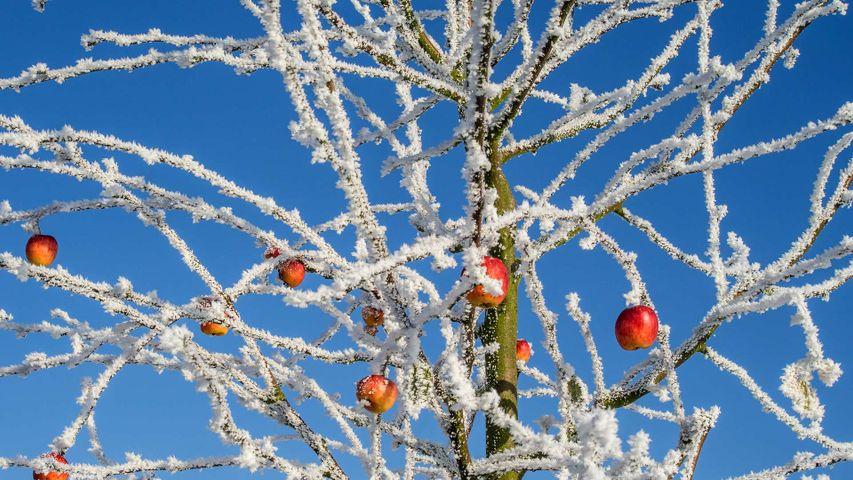 「冬のリンゴの木」