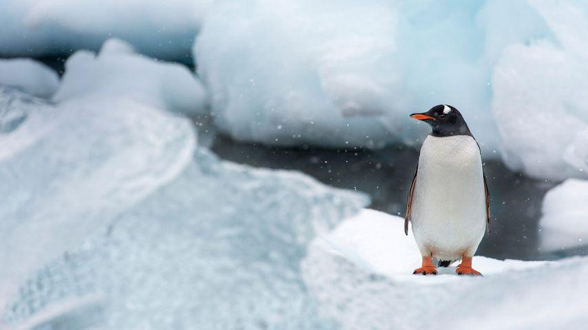 「ジェンツーペンギン」南極, クーバービル島