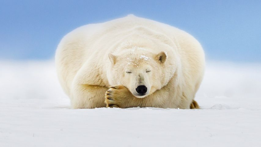 「居眠りホッキョクグマ」アメリカ, アラスカ