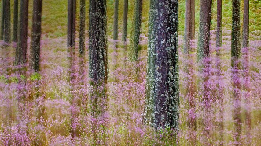 「松林のカルーナ」イギリス, スコットランド・ハイランド地方