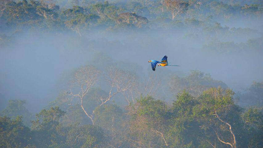 「アマゾン上空を飛ぶルリコンゴウインコ」ブラジル