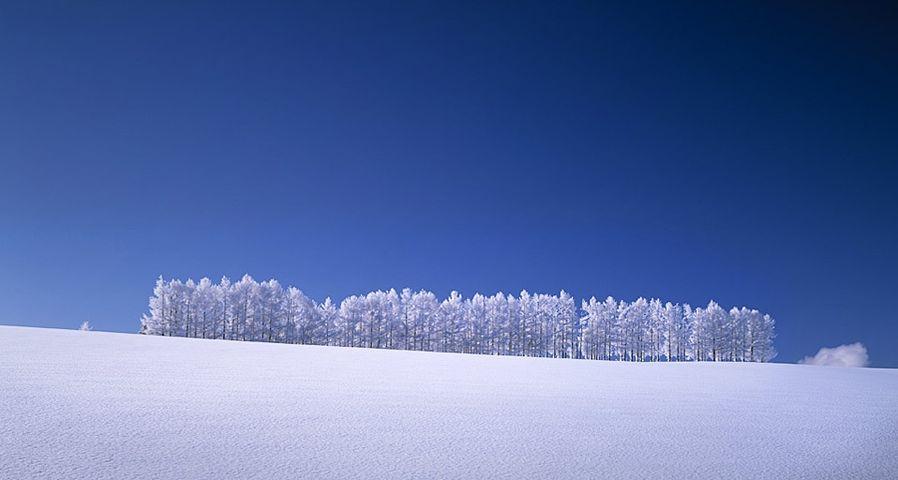 「雪のカラマツ林」北海道, 美瑛町