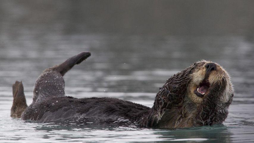 「ラッコの毛づくろい」アメリカ, アラスカ, プリンス・ウィリアム湾