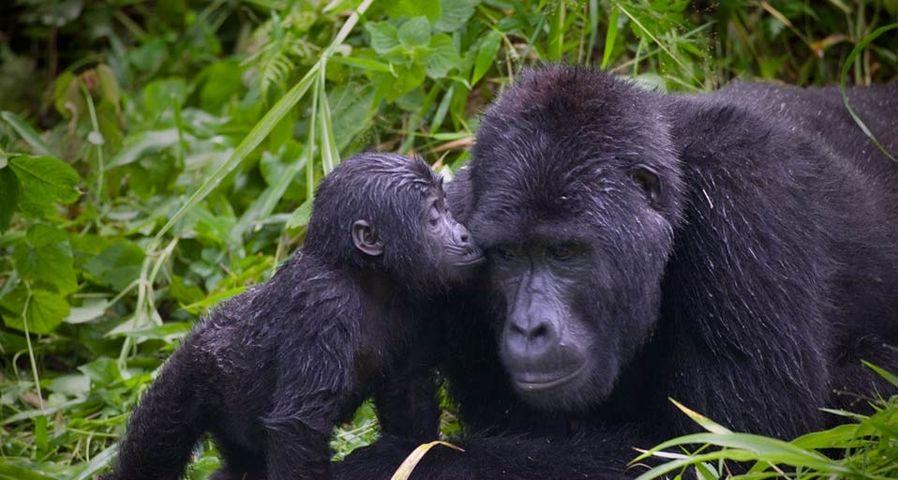 「親子ゴリラ」ウガンダ, ブウィンディ原生国立公園