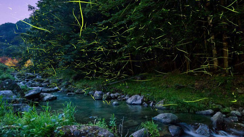 「ホタルの乱舞」静岡, 松崎町