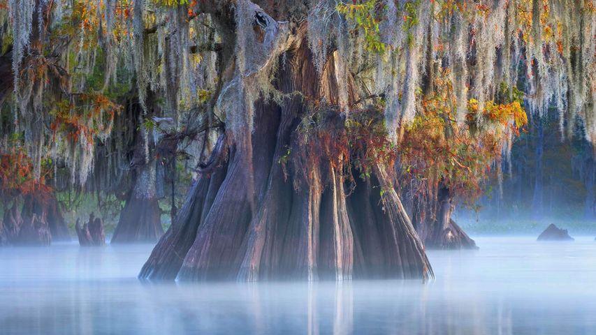 「アチャファラヤ盆地のヌマスギ」米国ルイジアナ州