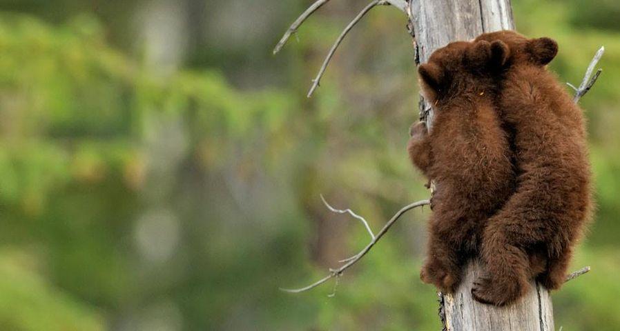 「アメリカグマの兄弟」カナダ, アルバータ州, ジャスパー国立公園