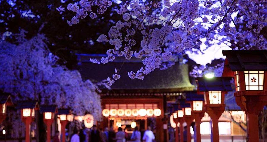 「平野神社の夜桜」京都,  北区