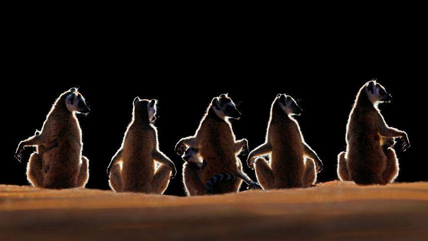 「ワオキツネザル」マダガスカル, ベレンティー私設保護区