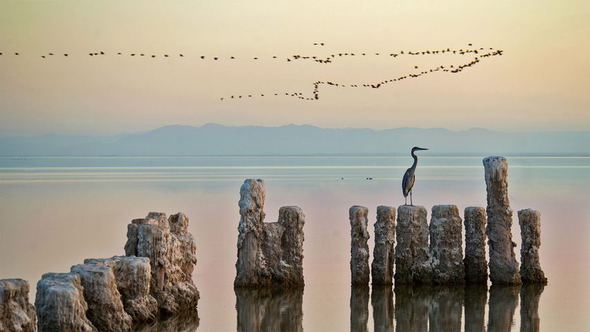 「ソルトン湖のサギ」米国カリフォルニア州