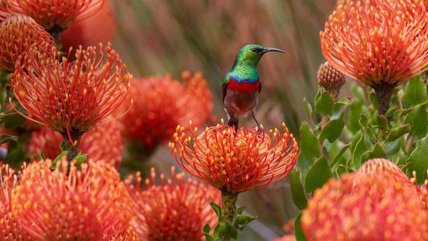 「ミナミゴシキタイヨウチョウ」南アフリカ, ケープタウン