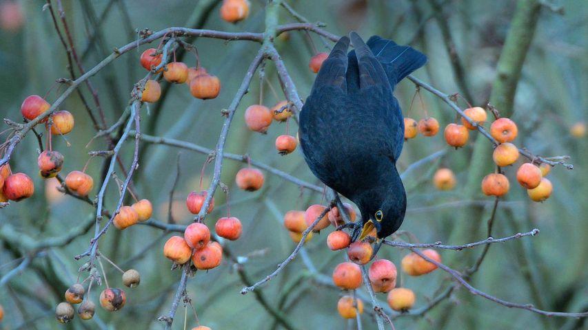 「野生のリンゴをついばむクロウタドリ」イギリス, ウィルトシャー