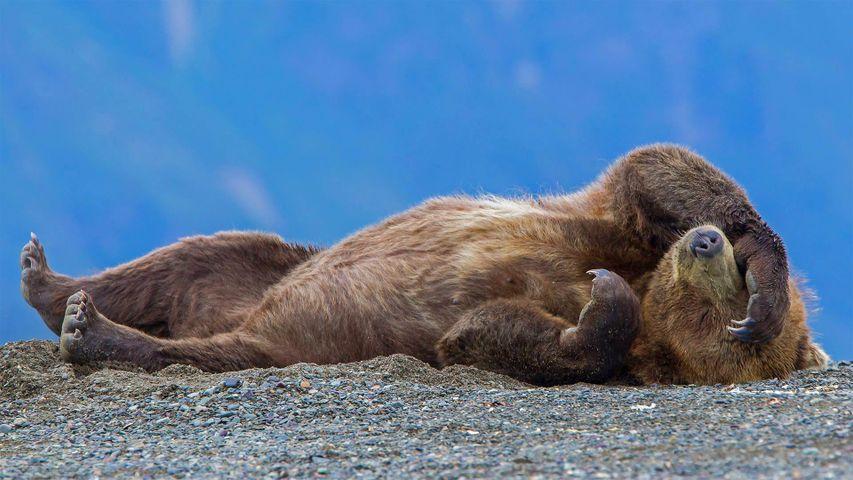「昼寝をするハイイログマ」米国アラスカ州, レイク・クラーク国立公園