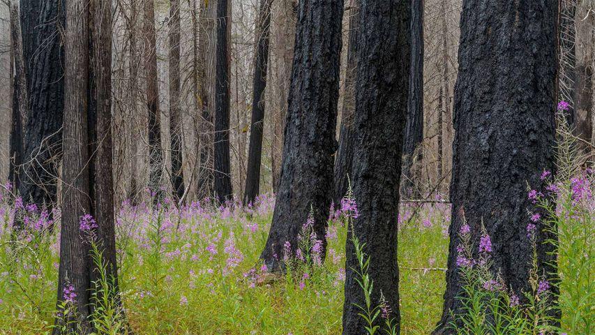 「木立の中のヤナギラン」米国ワシントン州, ノース・カスケード国立公園