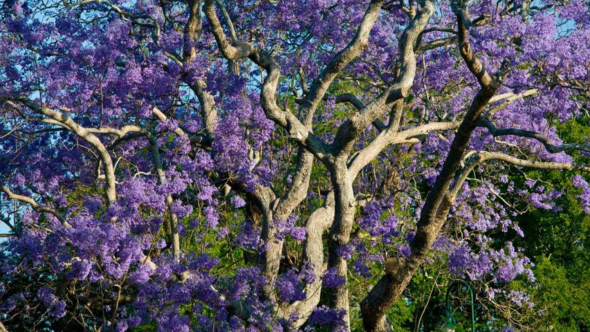 「ジャカランダの花」ブリスベン, ブリスベン