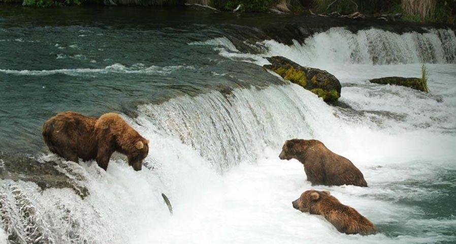 「鮭を獲るヒグマ」アメリカ, アラスカ