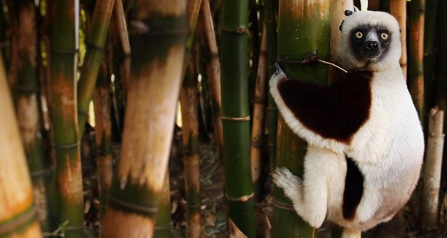 「エリマキキツネザル」マダガスカル