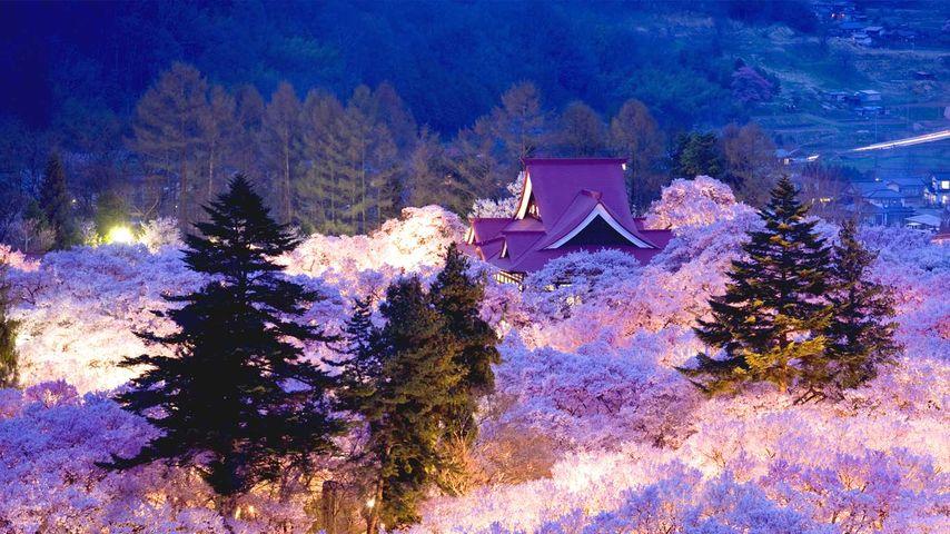 「高遠の桜」長野, 高遠城址公園