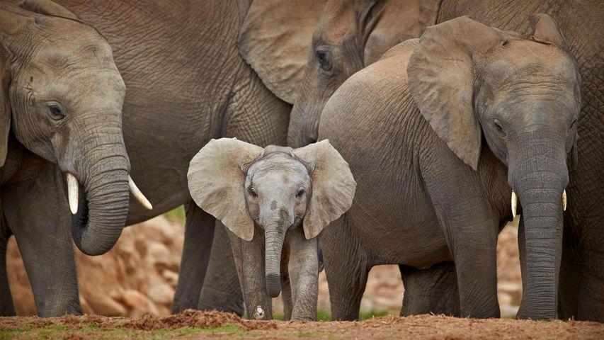 「アフリカゾウの家族」南アフリカ, アドゥ・エレファント国立公園